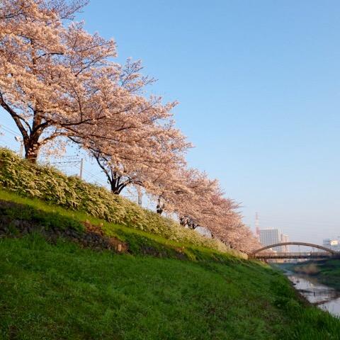 笹目川の桜が満開です。