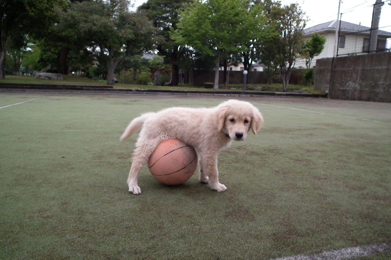 ボールをくわえて来る