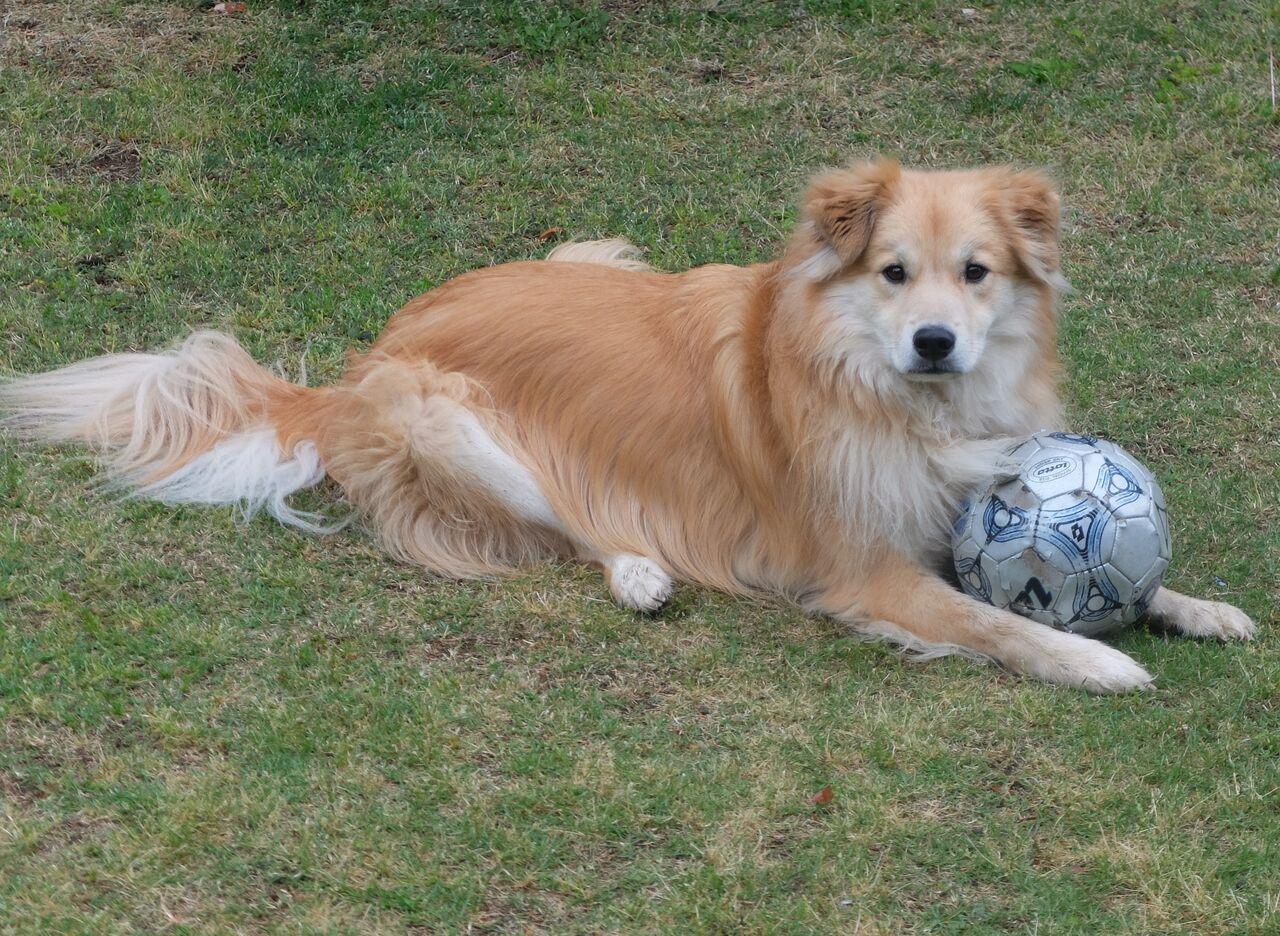 ボールと犬